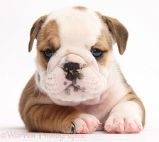 Cute bulldog pup
