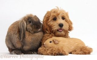 Cute Goldendoodle puppy with rabbit and Guinea pig