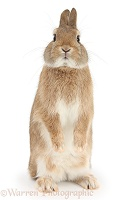 Sandy Netherland dwarf-cross rabbit standing