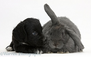 Black Cocker Spaniel puppy and blue lop rabbit