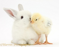 White rabbit kissing a yellow bantam chick
