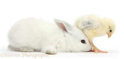 Yellow bantam chick sitting on white bunny