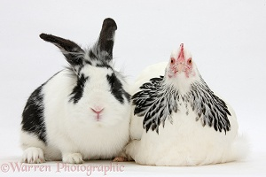 Light Sussex bantam hen and rabbit