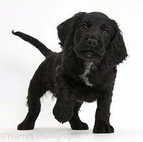 Black Cocker Spaniel puppy standing with paw up