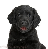 Black Cocker Spaniel puppy