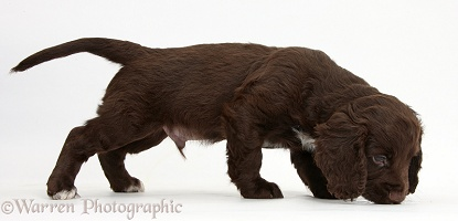 Chocolate Cocker Spaniel puppy sniffing the ground