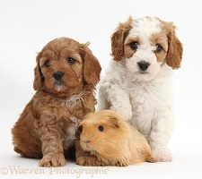 Cute Cavapoo puppies with a Guinea pig