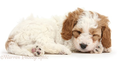 Cute sleeping Cavapoo puppy