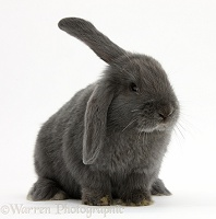Blue-grey floppy-eared rabbit