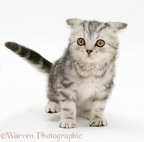 Silver tabby kitten making a funny face