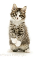 Tabby-and-white Maine Coon kitten, with raised paws