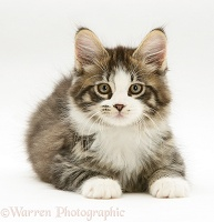 Tabby-and-white Maine Coon kitten, lying with head up