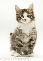 Tabby-and-white Maine Coon kitten, sitting