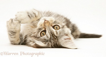 Tabby Maine Coon kitten lying on its back