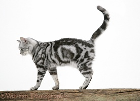 Silver tabby cat on a fence