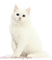 White kitten sitting