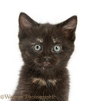 Black-tortoiseshell kitten portrait