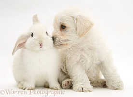 Woodle pup and white bunny