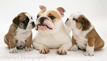 Bulldog mother and puppies