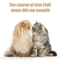 Shakespeare cat - Course of true fluff never did run smooth