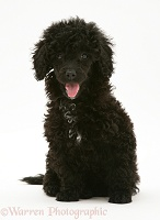 Black Miniature Poodle, sitting