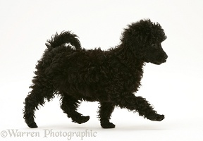 Black Miniature Poodle, trotting across