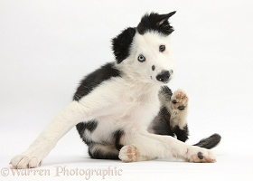 Black-and-white Border Collie puppy scratching