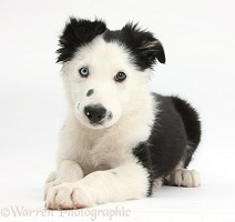 Black-and-white Border Collie puppy