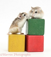 Roborovski Hamsters on blocks