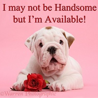 Bulldog puppy I may not be Handsome but I'm Available
