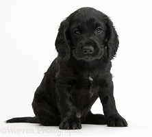 Black Cocker Spaniel puppy sitting