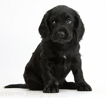 Black Cocker Spaniel puppy sitting looking to the side