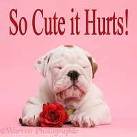 Bulldog puppy and red rose on pink background