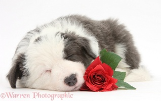 Cute sleepy Border Collie puppy with red rose