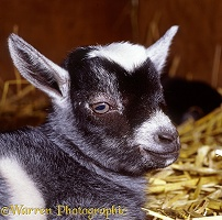 Pygmy goat kid, 1 day old