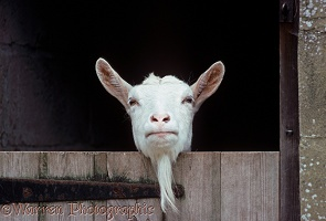 British Sannan nanny goat, leaning over stable door