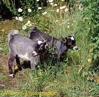 Pygmy goat kid, 14 weeks old