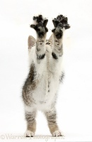 Tabby-and-white kitten reaching up with outstretched paws