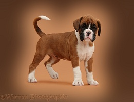 Boxer puppy, 7 weeks old, standing on brown background