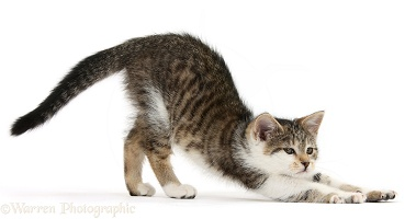 Tabby-and-white kitten stretching