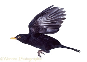 Male blackbird in flight