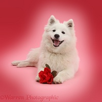 White Japanese Spitz dog with a red rose pink background