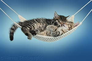 Cute tabby kittens sleeping in a hammock blue background