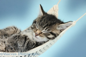 Cute tabby kitten sleeping in a hammock, blue background