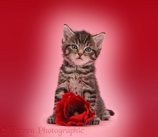 Cute tabby kitten, 6 weeks old, with poppy flower