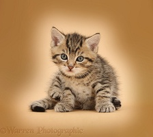 Cute tabby kitten, 6 weeks old, on beige background