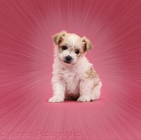 Cute Bichon x Yorkie pup on pink background