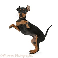 Miniature Pinscher puppy dancing