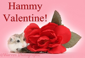 Hammy Valentine - Roborovski Hamster and rose