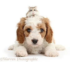 Cute Cavapoo puppy and Roborovski Hamster